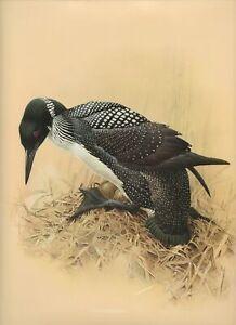 J F Lansdowne COMMON LOON wild duck bird illustration 1977 vintage art print