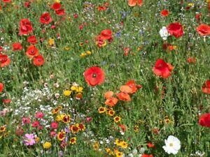 Wildblumen-Wiese Wiesen-Blumen Sommerblumen  Blumensamen ca 1000 Korn