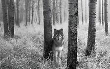 Large Framed Print - Wolf Standing in the Wood White & Black (Picture Poster)