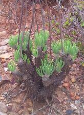 Tylecodon Wallichii ~ Amazing Bonsai Succulent ~ Deciduous Tree Rare 10 Seeds ~
