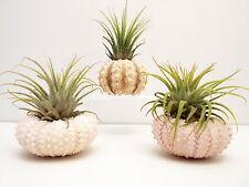 3 Beautiful Air Plants Sea Urchin Kit Nautical Gift Beach Find Decor Coastal Set