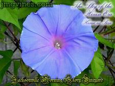 The Sky of the Heian Era / Heian no Sora Japanese Morning Glory 6 Seeds