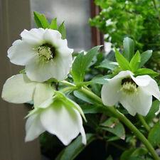 200Pcs Snowdrops Galanthus Seeds Autumn Growing Spring  Flower Garden Decor