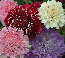 F0425 Scabiosa Pincushion Flower x30 seeds,White, Blue Purple