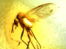 2 GENUINE FOSSILISED INSECTS IN AMBER circa 44 million BC