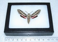 Real Framed Moth Arizona Pink White Lined Sphinx Hyles Lineata