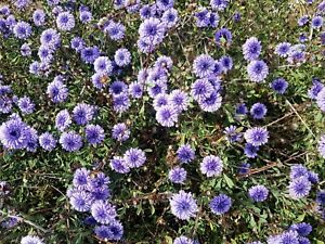 Globularia alypum,  30 seeds