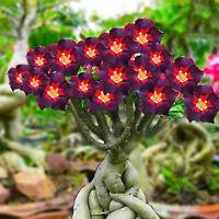 2X Adenium arabicum Bonsai Wüstenrose Zimmer Pflanze Saatgut Samen Garten GUT
