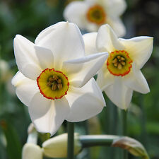 15  Poet's Daffodil, Pheasant's Eye ,NARCISSUS ACTAEA BULBS