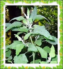 50+ Lambs Quarter Seeds ~ Delicious Baby Greens ~ Wild Spinach Goosefoot