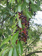 Späte Traubenkirsche Prunus serotina Pflanze 70-80cm Spätblühende Traubenkirsche