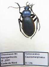Carabus tomocarabus caustomarginatus (male A1) from KOREA