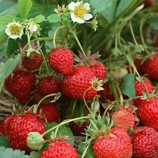 200 Sweet Red Strawberry Seeds Nutritious Delicious Home Garden Fruit Vegetables