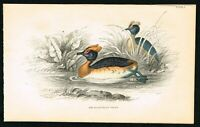1843 Sclavonian Grebe Duck, Hand-Colored Antique Engraving Print - Lizars