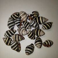 20 x tiger Combella Sea shells. Collector, beach home hamptons art craft