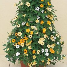 Thunbergia Seeds Thunbergia Susie Mix Black Eyed Susan Vine 25 Seeds