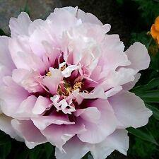"Peony RARE TYPE ""FANTAZY"" PLANT BULB, PERENNIAL FLOWERS"