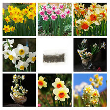 400pcs Mixed Color Double Narcissus Duo Bulbs Daffodil Spring Plant Flower Seeds