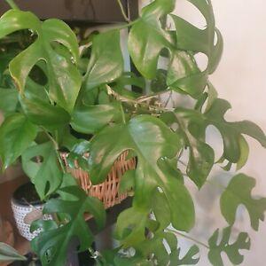 Mini Monstera (Rhaphidophora Tetrasperma) Plant Cuttings - Unrooted