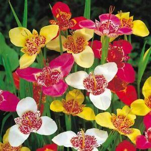 1-100 TIGRIDIA PAVONIA/TIGER FLOWER MIXED COLOUR BULBS/CORMS PERENNIAL FLOWER