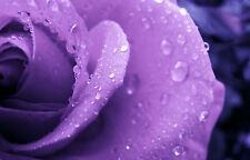 Framed Print - Purple Rose Covered with Rain Drops (Flower Petals Picture Art)