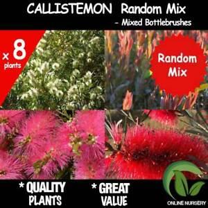 8x RANDOM Mixed Bottlebrush Callistemon Native Garden Plants Bottlebrush ツ)