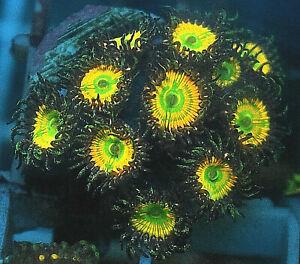 Sunny D ZOA coral frag 2 heads