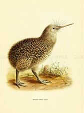 DRAWING BIRD ROWLEY KEULEMANS LITTLE SPOTTED KIWI ART PRINT LAH350A