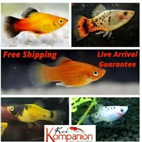 5/10/20X Assorted Premium Platy Beginner Aquarium Koi Kompanion Free Shipping