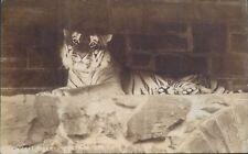 Postcard Bengal Tiger Pretoria Zoo Real photo  unposted