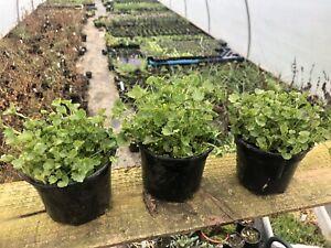 Campanula portenschlagiana , serbian bell flower perennial plant X3 In 10cm Pots