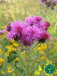 10 seeds of VERNONIA ANTHELMINTICA - Plus GIFT 5 seeds of Sunflower