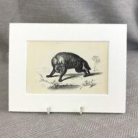1853 a Strisce Iena Wild Animali Vittoriano Antico Originale Stampa