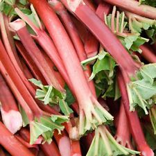 RHUBARB Victoria  ~Fruit-Vegetable~ 'Great for Pie's' 20+ Perennial Seeds