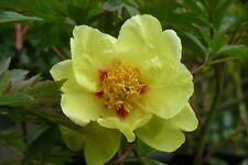 """1x Paeonia Rose """" GOLDEN BOWL """"  Tree Peony ( Peonies /Paeonie ) peonie"""