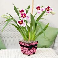 100 Seeds Miltonia Orchid Flowers Rare Kinds Bonsai Potted Plants in Home Decor