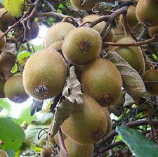 Hayward Kiwi,Actinidia Deliciosa 'Hayward' Cold Hardy Kiwi Fruit For Your Garden