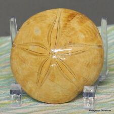 "2.57"" Amazing Petrified Fossil Sand Dollar Sea Biscuit Urchin Reiki Stone, Sdl49"
