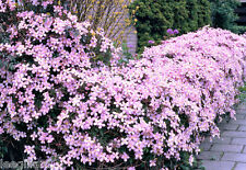 clematis montana mixed jumbo plug plants x 2 climbers - Climbing Plants