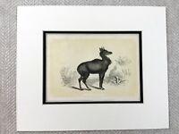 1853 Antico Stampa Nylchau Wild Animal Esotico Zoology Originale Vittoriano Art