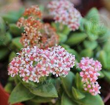 "2"" crassula spring time Succulent pink flowers cactus live plant rare"