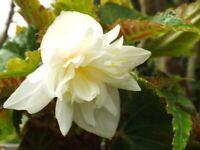 Begonia Seeds Funky White 15 Pelleted Seed