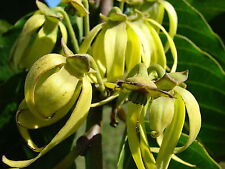 Huile essentielle Ylang Ylang qualité extra 2eme Distillat 100 ml