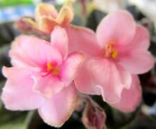 African violet PLUG starter plant JOLLY JINGLE