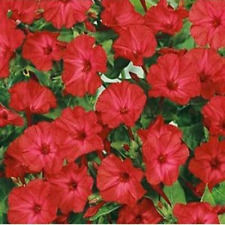 Outsidepride Flower Seed Four O'Clock Red Seed Garden Flowers Seeds 1/4 Lb New
