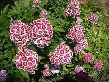 Flower Seeds Clove Dianthus barbatus Turkish Glory