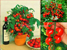 "SEEDS – Upright ""Tiny Tim"" Tomato Dwarf Bonsai Compact Heavy Yielder Plant Fruit"
