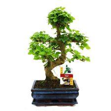 Chinese Privet Ligustrum Sinense Bonsai Flowering Plant Living Room Tabletop New