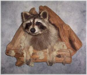 Raccoon Climbing out of Den