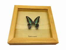 Graphium sarpedon Real Butterfly in wood Shadowbox Mount-natural